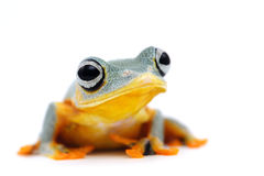 Frog isolated on white. Backgtound Royalty Free Stock Photography