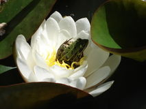 Frog in its waterlily. May 2014 Royalty Free Stock Images