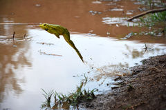 Frog jumping into pond of water. A green frog jumping into pond of water from its edge Royalty Free Stock Image