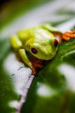 Frog in the jungle, vivid colors Stock Images