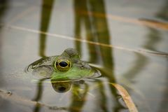 Frog in the water closeup royalty free stock photos