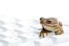 Frog on keyboard Stock Photography