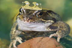 Frog King Royalty Free Stock Images