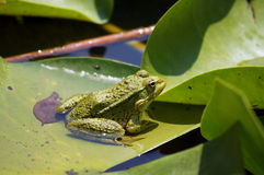Frog in the lake Royalty Free Stock Photos