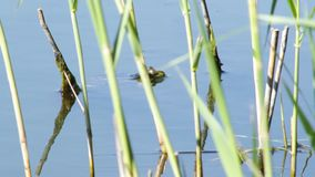 Frog in the lake. Frog hid in the lake, waiting for prey from insects stock footage