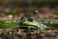 frog with lake looking into the camera lens Royalty Free Stock Photo