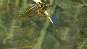 Frog in the lake. A frog sits on a blade of grass in a clean lake stock footage