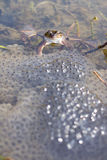 Frog in a lake with spawn stock photos