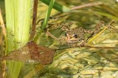 Frog on the lake Stock Photo