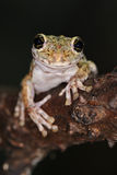 Frog with large eyes Stock Images