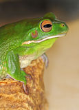 Frog with large eyes Stock Photos