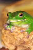 Frog with large eyes Royalty Free Stock Images