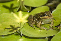 Frog on large leaves Stock Photo