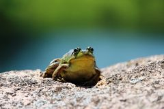 Frog Royalty Free Stock Photo