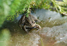 Frog lat. Pelophylax ridibundus is sitting in a thicket of grass Royalty Free Stock Images