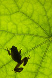 Frog on Leaf Royalty Free Stock Images