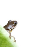 Frog on leaf Stock Photography