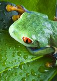 Frog on the leaf. Frog - small animal with smooth skin and long legs that are used for jumping. Frogs live in or near water. The Agalychnis callidryas, commonly Stock Photos