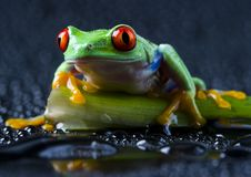 Frog on the leaf Stock Photography