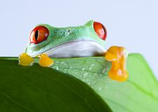 Frog on the leaf Stock Photos
