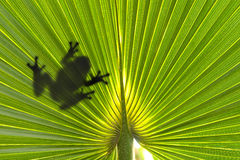 Frog on leaf. Silhouette of frog Royalty Free Stock Photography