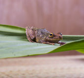 Frog on a leaf Royalty Free Stock Photo