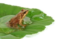 Frog on the leaf Stock Image