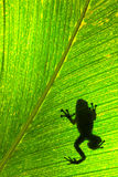 A Frog on a leaf Stock Images