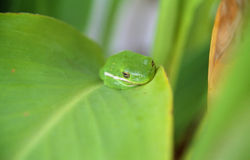 Frog on a leaf. Green Frog on a Green Leaf Royalty Free Stock Photography