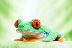Frog on a leaf close up stock image