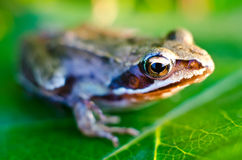 Frog on a leaf Stock Photos