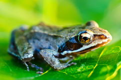 Frog on a leaf Stock Images
