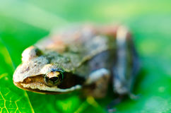 Frog on a leaf Stock Photography