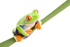 Frog on a leaf isolated Royalty Free Stock Photo