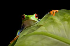 Frog on a leaf isolated black stock photo