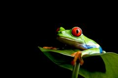 Frog on a leaf isolated black royalty free stock photos