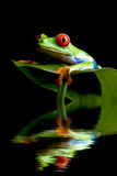 Frog on a leaf isolated black royalty free stock photo