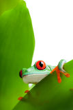 Frog on a leaf isolated white Royalty Free Stock Photos