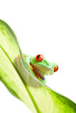Frog on a leaf isolated white Stock Photo