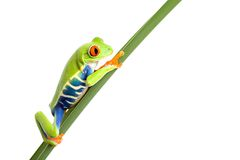 Frog on leaf isolated white stock photos
