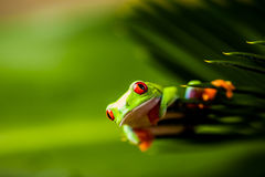 Frog on a leaf in the jungle Royalty Free Stock Photo