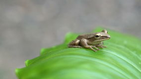 Frog on the leaf. Little frog on a green leaf after the rain stock video footage