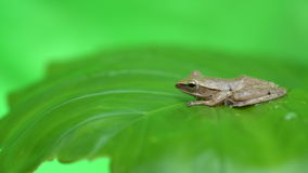 Frog on the leaf. Little frog on a green leaf after the rain stock video
