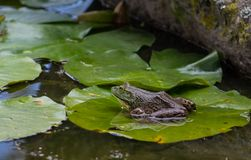 Frog in a pond royalty free stock image