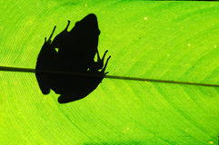 Frog on Leaf Royalty Free Stock Photos