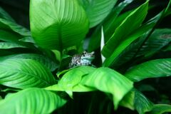 Frog on leafy plant Royalty Free Stock Photo