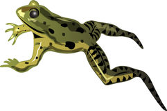 Frog leaping Royalty Free Stock Photography