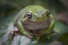 Frog on a leave with green blurry background. A smiling frog stand on a leave Royalty Free Stock Photos
