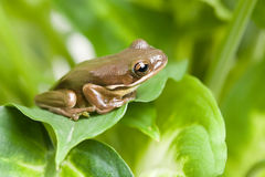 Frog on leaves Royalty Free Stock Photos
