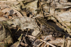 Frog in leaves. Brown Frog sitting camouflaged between dead leaves Stock Image